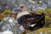 South Polar Skua female is sitting on eggs in a nest — 图库照片