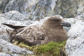 Female Antarctic or brown skua who sits on the eggs in the nest — Zdjęcie stockowe