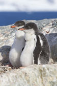 Gentoo penguin two chicks sitting in nest in anticipation of par — Zdjęcie stockowe