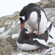 Male and female Gentoo penguins copulate near the nest — Stock Photo