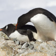 Two Gentoo penguins are fighting near the nest — Stock Photo