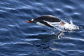 Gentoo penguin floating who jumped out of the water — Foto de Stock