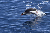 Gentoo penguin jumping out of water in Antarctica — Stock Photo