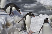 Gentoo penguins are  jump from big ice floe to ice snow — Foto de Stock
