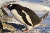 Gentoo penguin som defecates nära boet — Stockfoto