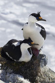 Male and female blue-eyed Antarctic cormorant sitting in a  nest — Stockfoto
