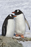 Male and female Gentoo penguins which stand near the site where  — Photo