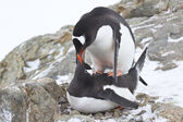 Male and female Gentoo penguins copulate near the nest — 图库照片