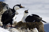 Male and female blue-eyed cormorant sitting Antarctic near the n — Stock Photo