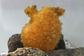 Orange ascidian which stands on a rock in Antarctic waters — Stock Photo