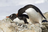 Two Gentoo penguins are fighting near the nest — 图库照片