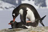 Fêmea e macho pinguim gentoo durante o acasalamento — Foto Stock