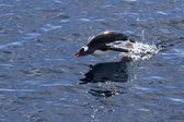 Gentoo penguin jumped out of the water while swimming — Stock Photo