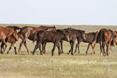 Herd of horses wandering on a hot day of spring steppe — Stock Photo