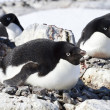Group of Adelie penguins sitting in a nest in a small colony — Stock Photo