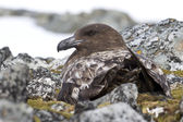 Female Antarctic or brown skua that sitting on the nest — Stock Photo