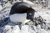 Female Adelie penguin sitting on the nest and frightening observ — Stock Photo