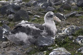 Major southern giant petrel chick who sits in the nest — Stock Photo
