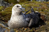 South Polar Skua female morph light which sits on the eggs on th — Stock Photo