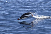 Gentoo penguin jumped out of the water on a sunny afternoon — Foto Stock