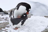 Male and female penguin Gentoo before mating spring day — Stock Photo