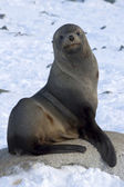 Fur seals sitting on a rock on the beach Antarctic Islands — Foto de Stock