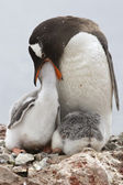 Gentoo penguin female that feeds one of the chicks in the nest — Foto Stock