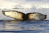 Humpback whale tail diving in Antarctic waters against the backd — Stock Photo