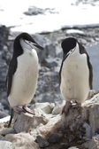 Male and female Antarctic penguin Chinstrap or standing near the — Foto Stock