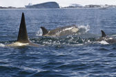 Pack of killer whales swimming along the Antarctic coast sunny s — Stock Photo