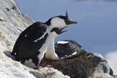 Male and female blue-eyed Antarctic shag sitting in a nest on th — Foto Stock
