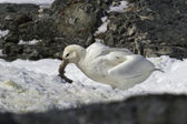 White morph of the southern giant petrel who eats penguin chick — Stock Photo
