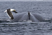 Spin and fin whale humpback over which fly kelp gull — Stock Photo