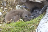 South Polar skua chick perdu in the nest near the feet of an adu — Foto de Stock