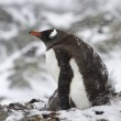 Gentoo penguin female sitting in a nest with chicks during snowf — Stock Photo #50451983
