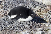 Adelie penguin incubates clutch in colony spring day — Stock Photo
