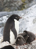 Female Adelie penguin and three chicks in the nest — Stock Photo