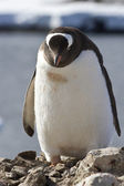 Gentoo penguin which stands near a nest under construction — Foto de Stock