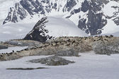 Several colonies of Adelie penguins on the Antarctic island on a — Stok fotoğraf