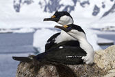 Pair of blue-eyed Antarctic shags sitting in the nest — Stock Photo