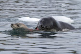 Leopard seal attacking a young crabeater seal — Stock Photo