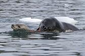Sello de leopardo atacando una foca cangrejera joven — Foto de Stock