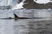 Mujer ballena asesina que flota a lo largo de la costa antártica — Foto de Stock