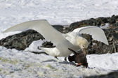 Southern giant petrel white morphs who eats Adelie penguin chick — Stock Photo