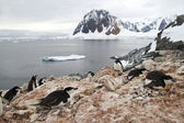 Mixed colony of Adelie penguins, Gentoo and Chinstrap on the Ant — Stock Photo