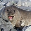 Southern elephant seal that is on the rocks and roars — Stock Photo #51467321