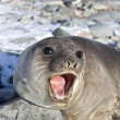 Young southern elephant seal that roars — Stock Photo #51468451