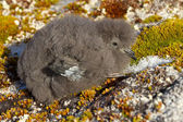 Wilson's storm petrels chick that sits on the moss Antarctic isl — Stock Photo