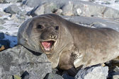 Southern elephant seal that is on the rocks and roars — Stock Photo