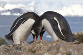 Male and female Gentoo penguins which nest near tokuyut — Foto de Stock